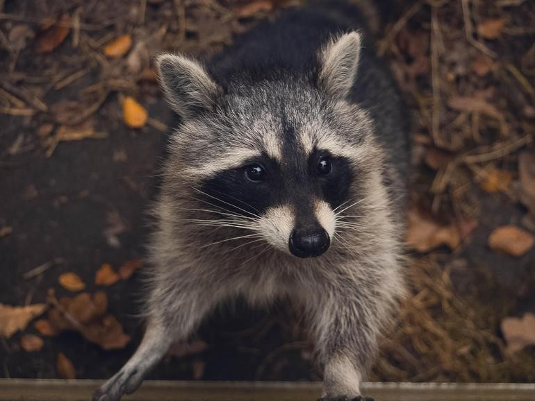 Raccoon malware targets massive range of browsers to steal your data and cryptocurrency | ZDNet